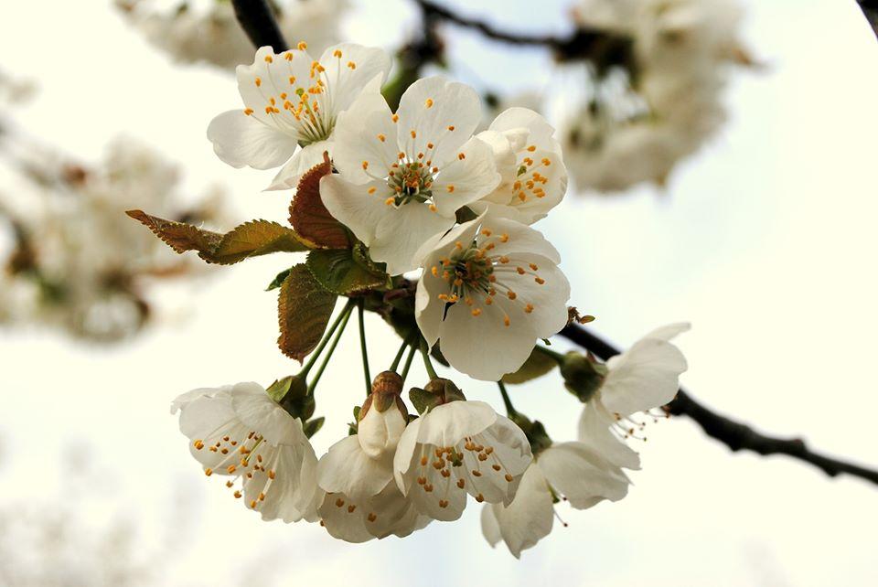 hanami visitvaldadige escursione tra i ciliegi